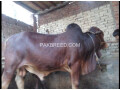 04-mann-tandarust-bachara-available-for-qurbani-small-2