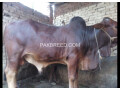 04-mann-tandarust-bachara-available-for-qurbani-small-1