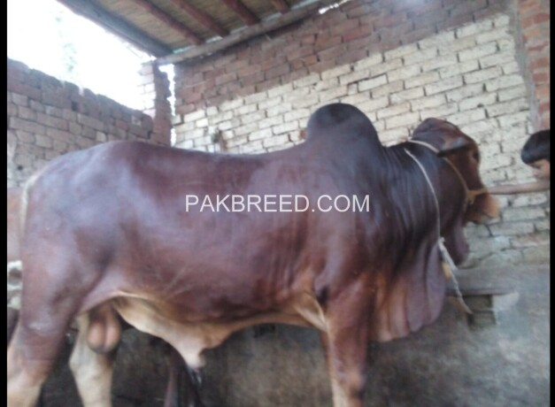 04-mann-tandarust-bachara-available-for-qurbani-big-2