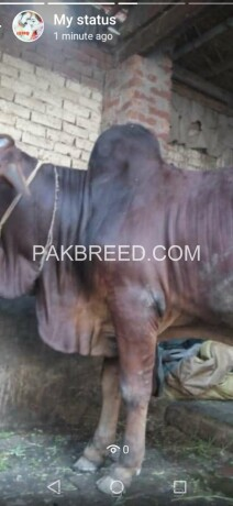 04-mann-tandarust-bachara-available-for-qurbani-big-4