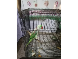 Raw parrot for sale in lahore breader male 3 years age with talking