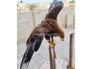 Tawny Eagle for Sale