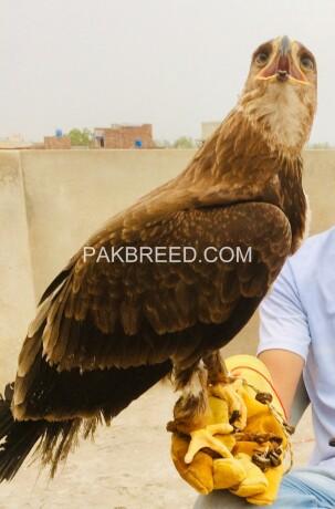 tawny-eagle-for-sale-big-3