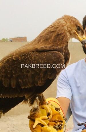 tawny-eagle-for-sale-big-2