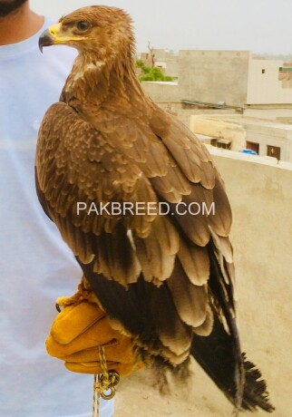 tawny-eagle-for-sale-big-1