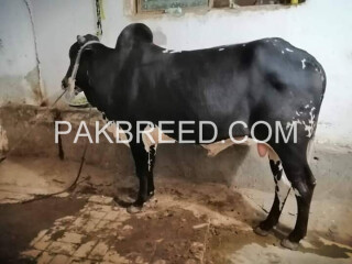 Qurbani bull for sale