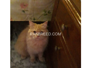 Persian cat light brown