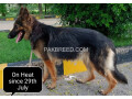german-shepherd-female-long-coat-on-heat-small-0