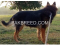 german-shepherd-female-long-coat-on-heat-small-4