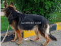 german-shepherd-female-long-coat-on-heat-small-2