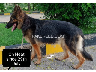 German Shepherd Female Long Coat (On Heat)