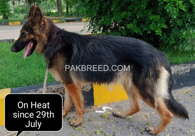 german-shepherd-female-long-coat-on-heat-big-0