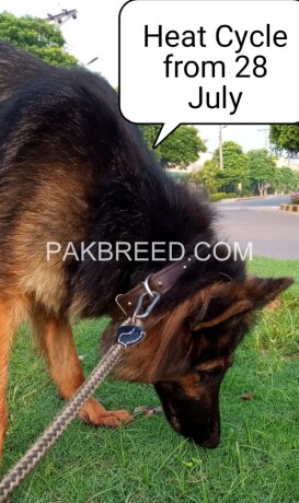 german-shepherd-female-long-coat-on-heat-big-1