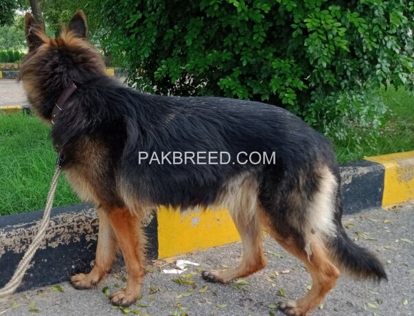 german-shepherd-female-long-coat-on-heat-big-2