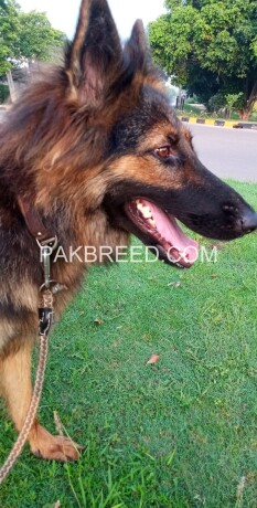 german-shepherd-female-long-coat-on-heat-big-3