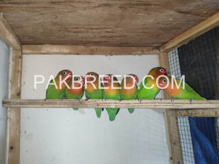 Fisher parrots for sale