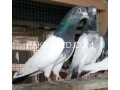 pigeon-for-sale-small-0