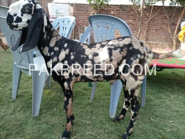bakra-for-sale-big-0