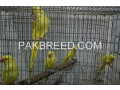 parrot-for-sale-small-0