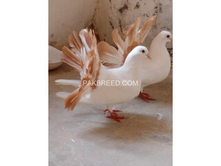 Lakkay kabooter red tail for sale