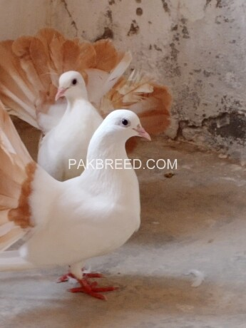 lakkay-kabooter-red-tail-for-sale-big-2