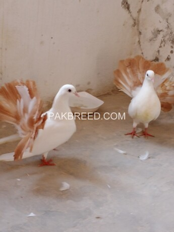 lakkay-kabooter-red-tail-for-sale-big-4