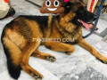 german-shepherd-male-small-1