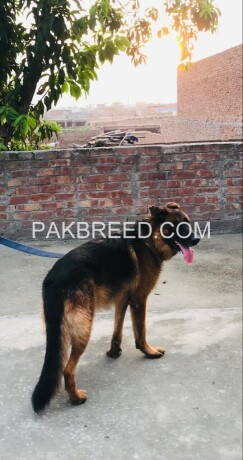 german-shepherd-male-big-0
