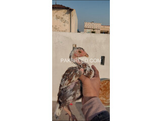 Aseel quality hen for sale