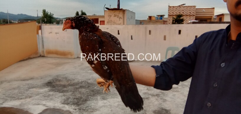 aseel-quality-hen-for-sale-big-3