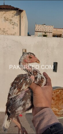aseel-quality-hen-for-sale-big-0