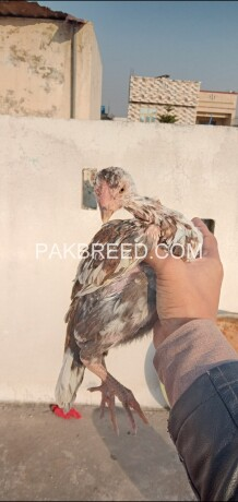 aseel-quality-hen-for-sale-big-1