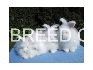 Cute and fluffy imported rabbits (angoras)
