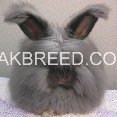 cute-and-fluffy-imported-rabbits-angoras-big-2
