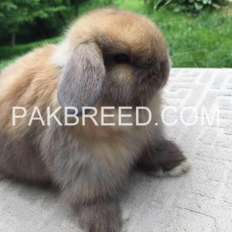 cute-and-fluffy-imported-rabbits-angoras-big-3