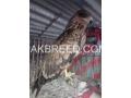 brown-eagle-small-0