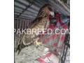 brown-eagle-small-1