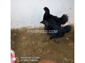 2-male-4-to-45months-2-2-to-3-months-female-ayam-cemani-small-1