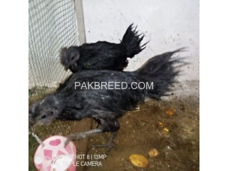 2 Male (4 to 4.5months) & 2 (2 to 3 months) Female Ayam Cemani
