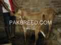goat-for-sale-small-1