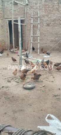 golden-misary-chicks-for-sale-big-1
