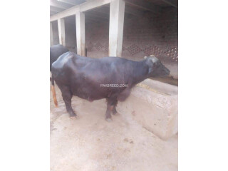 Buffalo for sale