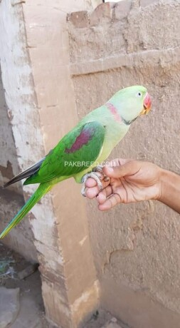 green-parrot-for-sale-big-0
