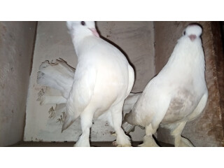 Laka breeder pair