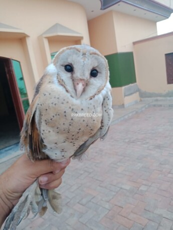 barn-owl-big-2