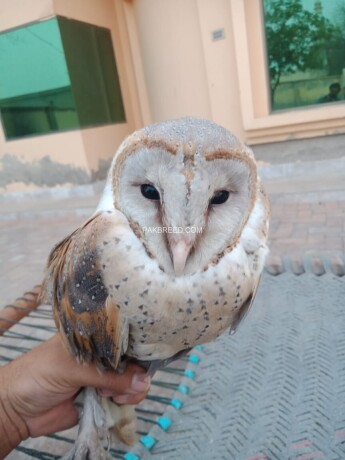 barn-owl-big-1