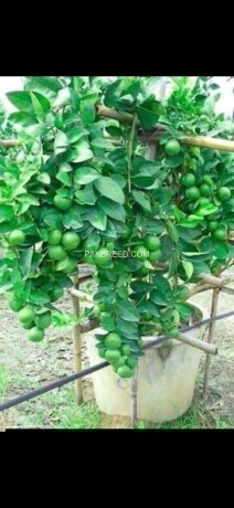 grafted-fruit-plants-big-2