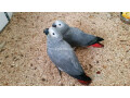 african-grey-small-0