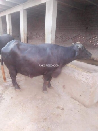 buffalo-for-sale-big-1