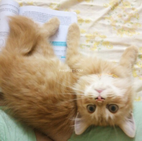 golden-triple-coated-kitten-male-available-on-best-price-big-2